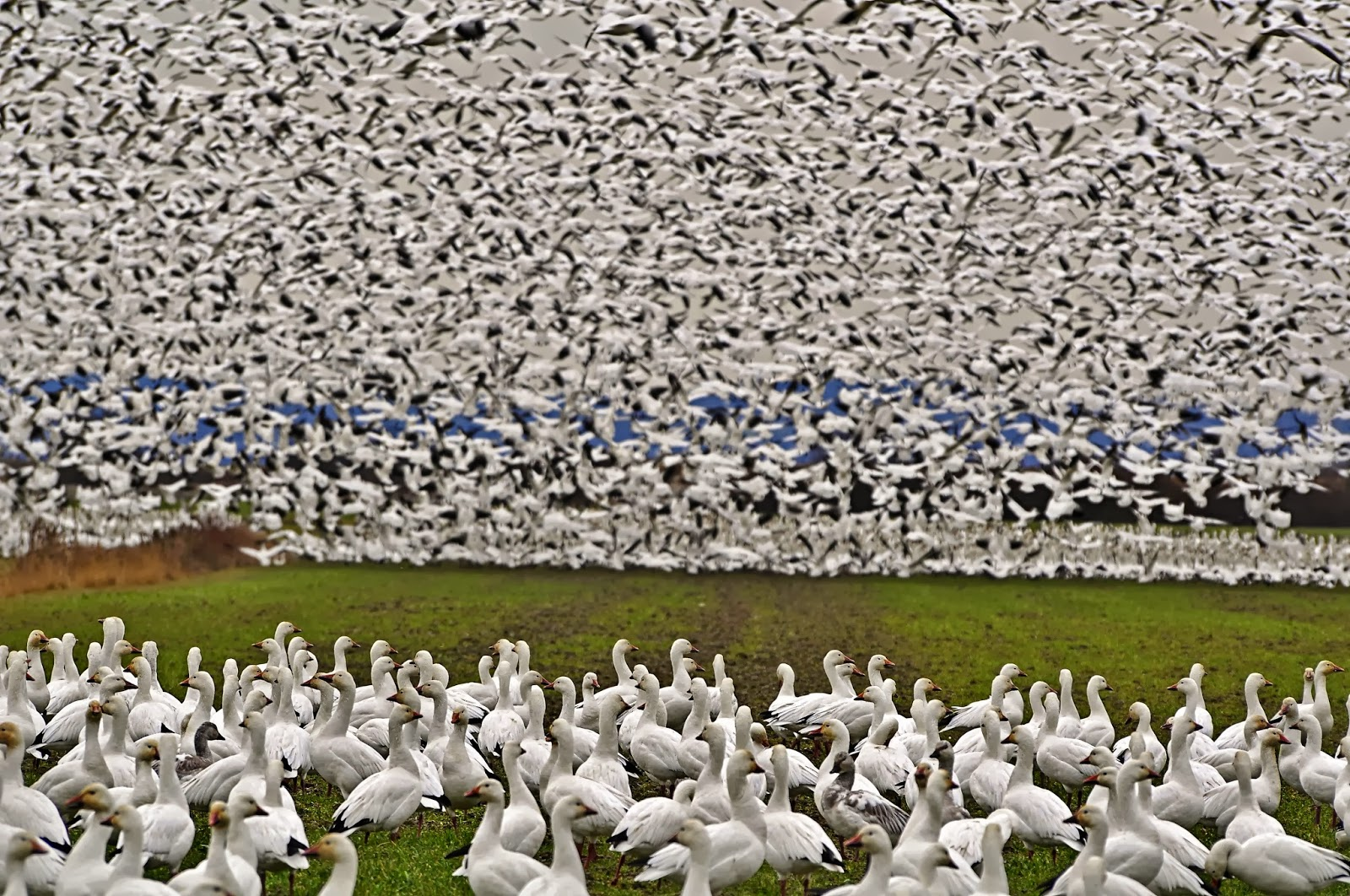 snow goose overpopulation Wildlife officials have done their part to provide a real opportunity so now it's up to  hunters to get out there and help with overpopulation.