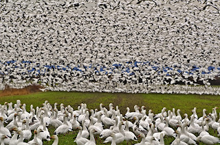 Hunting Missouri's  Large  Populations Of Snow Geese