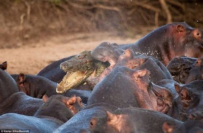 Hippo attacked the crocodile Seen On www.coolpicturegallery.us