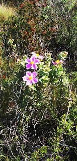 Flors entre punxes