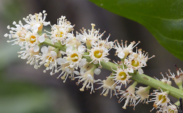 Cherry Laurel, Prunus laurocerasus.  One Tree Hill, 27 April 2012.