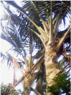 Cerita Asal Usul Pohon Sagu dan Palem