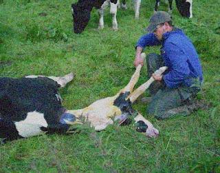 Ça tombe bien, j'ai une vache qui va vêler