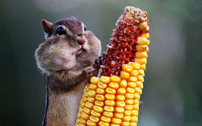 Ardilla comiendo su mazorca de maz - Chipmunk eating corn