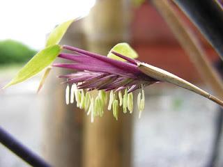 flor de bambu