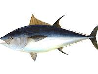 25 Manfaat Ikan Tuna dan Jenis-Jenis Ikan Tuna