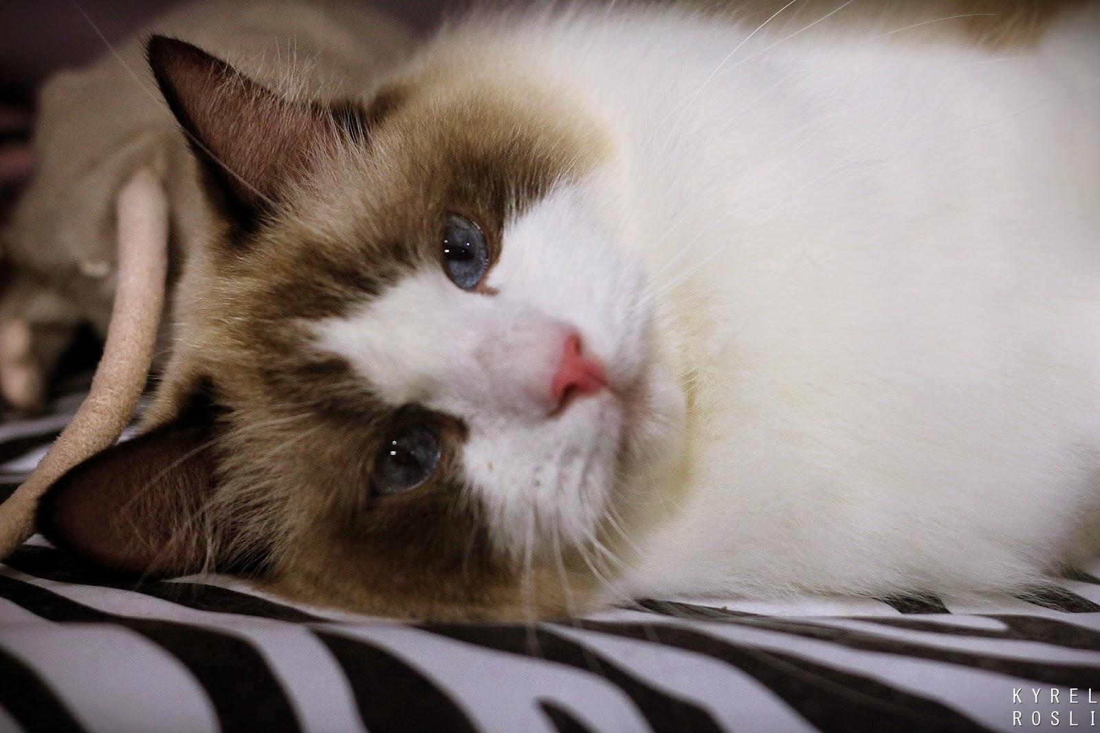 11th PFF International Cat Show (M) , Kyrel Eat World