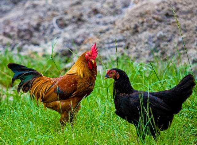 Cara Beternak Ayam Kampung Pedaging - Lumajang Joper Zone's