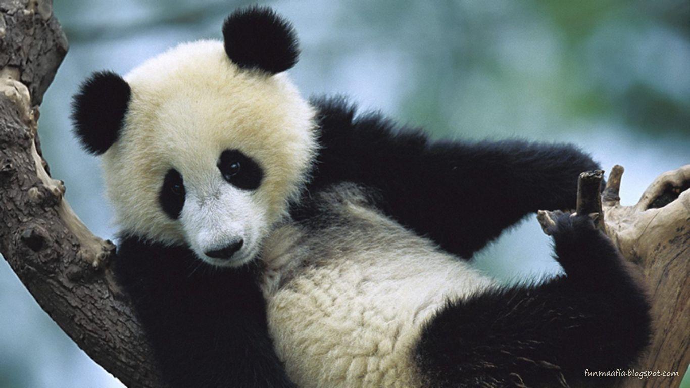 http://2.bp.blogspot.com/-kh6xcCeqtmc/TolIsn91ZyI/AAAAAAAACDA/ElsphUq2TUc/s1600/Panda-Bear-wildlife-wallpaper.jpg