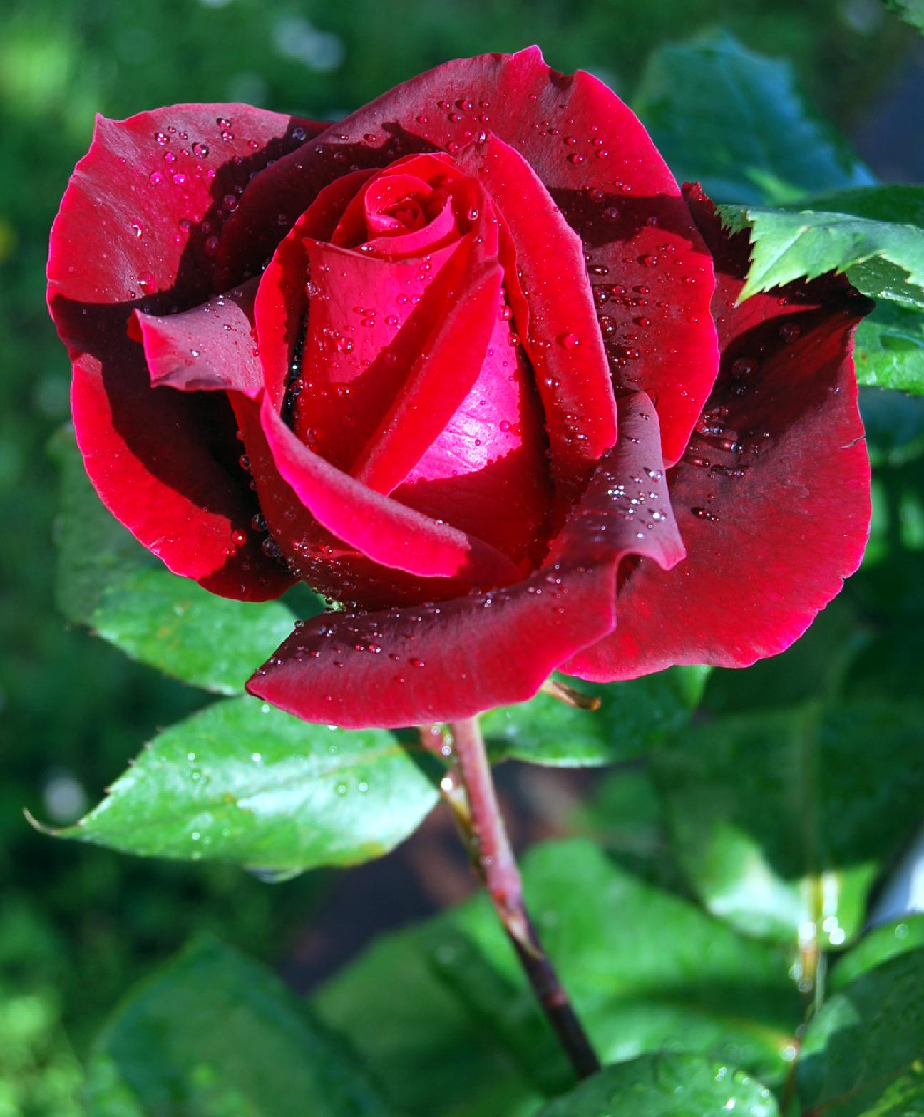 Imágenes de rosas de amor con movimiento y brillo GIF - Imagenes De Rosas Muy Bellas
