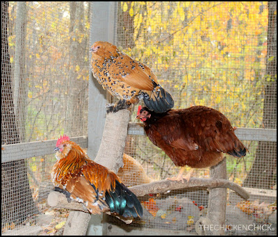 Duke & Daisy (Mille fleur d'Uccle pair & Scarlett, New Hampshire Red pullet)