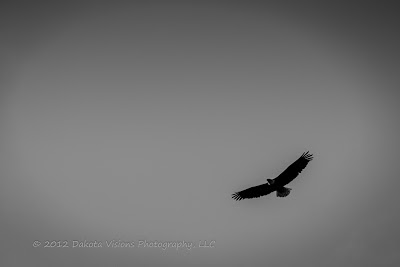 Black and White Bald Eagle Photography Soaring by Dakota Visions Photography LLC www.dakotavisions.com Black Hills SD
