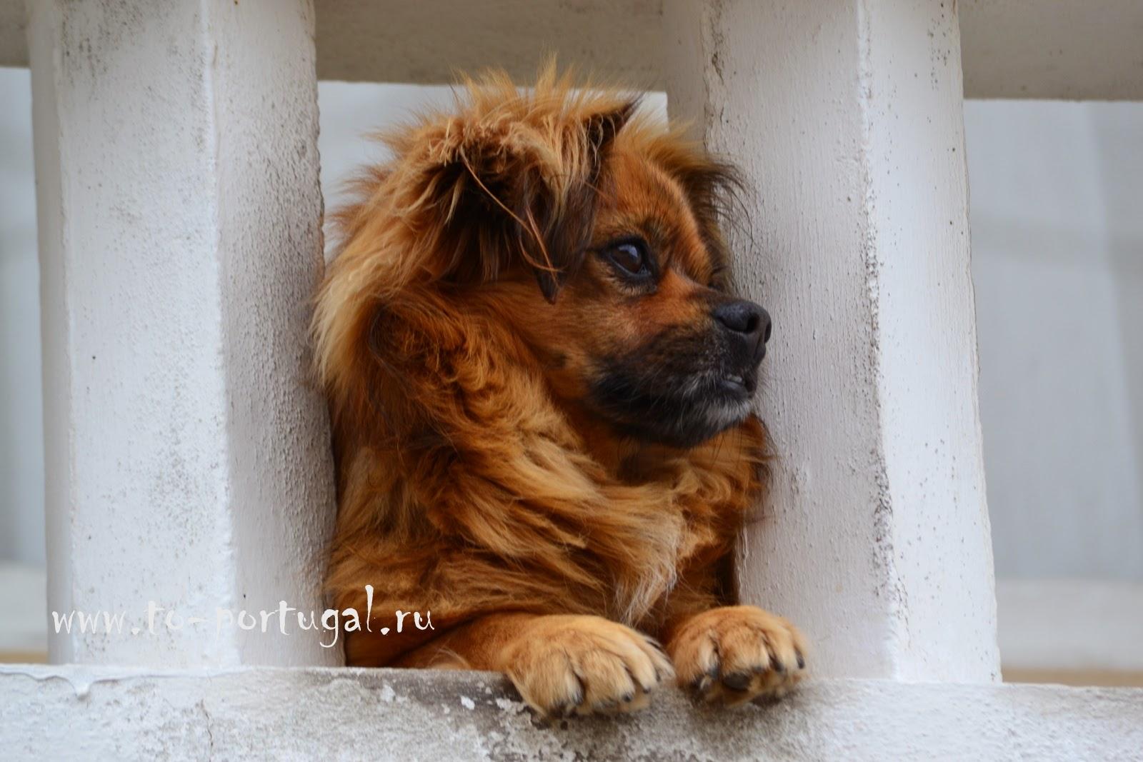 португальские собаки