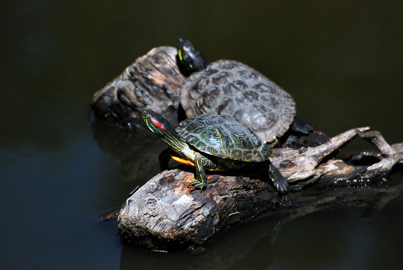... not the little turtles we picked out of a pet store when we were kids