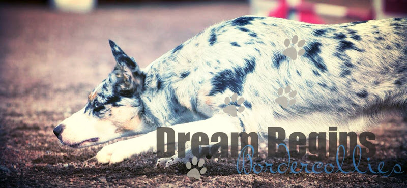 .... Dream Begins bordercollies