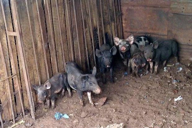 Mulher procura um lar para seus 19 porcos de estimação