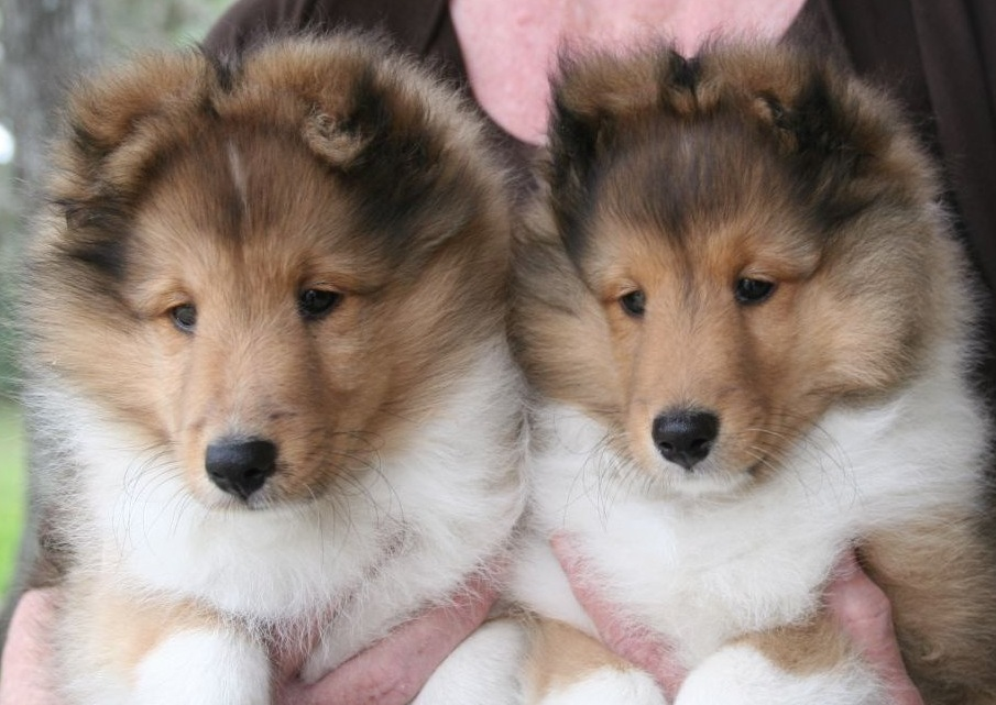 Sable Shetland Sheepdog ( Sheltie ) Puppies