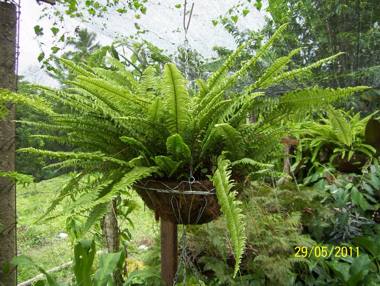 Vivero los chaguaramos plantas ornamentales for Plantas ornamentales helechos