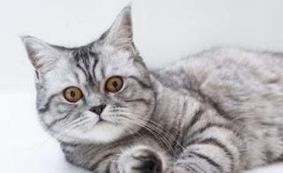 penyebab-bulu-kucing-rontok_32654