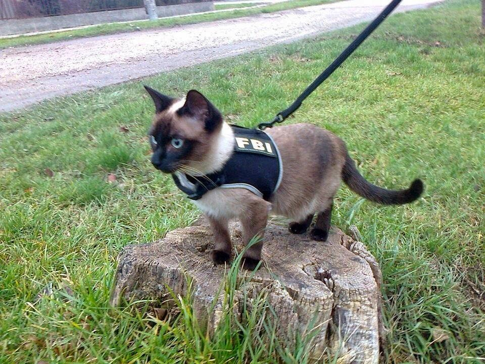 Funny cats - part 99 (40 pics + 10 gifs), cat pictures, cat wears FBI vest