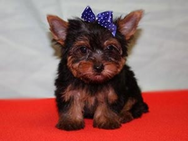 Cute Dogs: Cute Yorkshire terrier puppies
