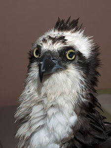 OSPREY INJURED BY KITE......