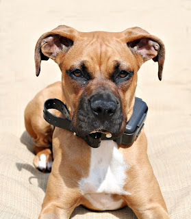 Boxer puppy wearing shock collar