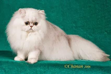 Desi Komalasari Beberapa Jenis Kucing Di Dunia