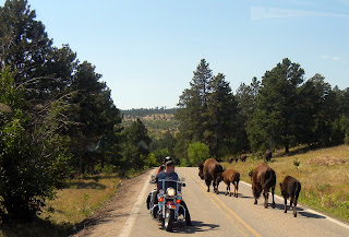 Loose buffalo near our car in Custer State Park in South Dakota