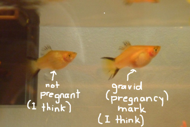 How to tell if your platy is pregnant for Pregnancy and fish