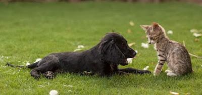 Foto-foto seekor anak kucing dan seekor anak anjing spaniel yang tumbuh bersama