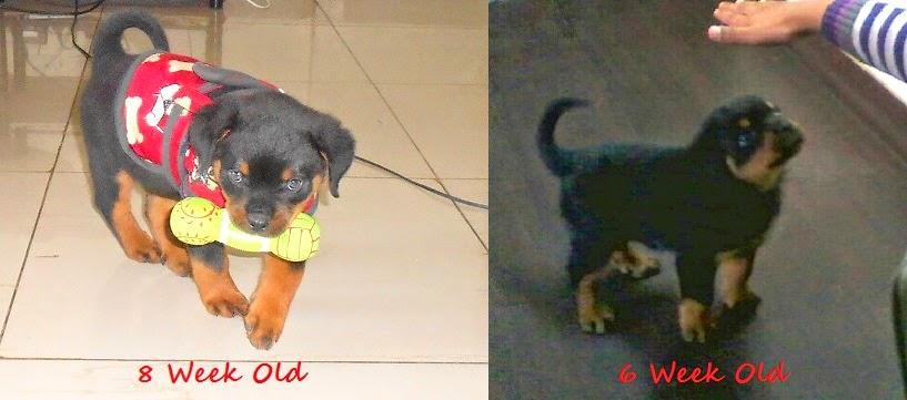 Leo The Rottweiler 8 Week Old Rottweiler Puppy Day 56
