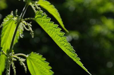 Kopřivy - bylinky na hubnutí