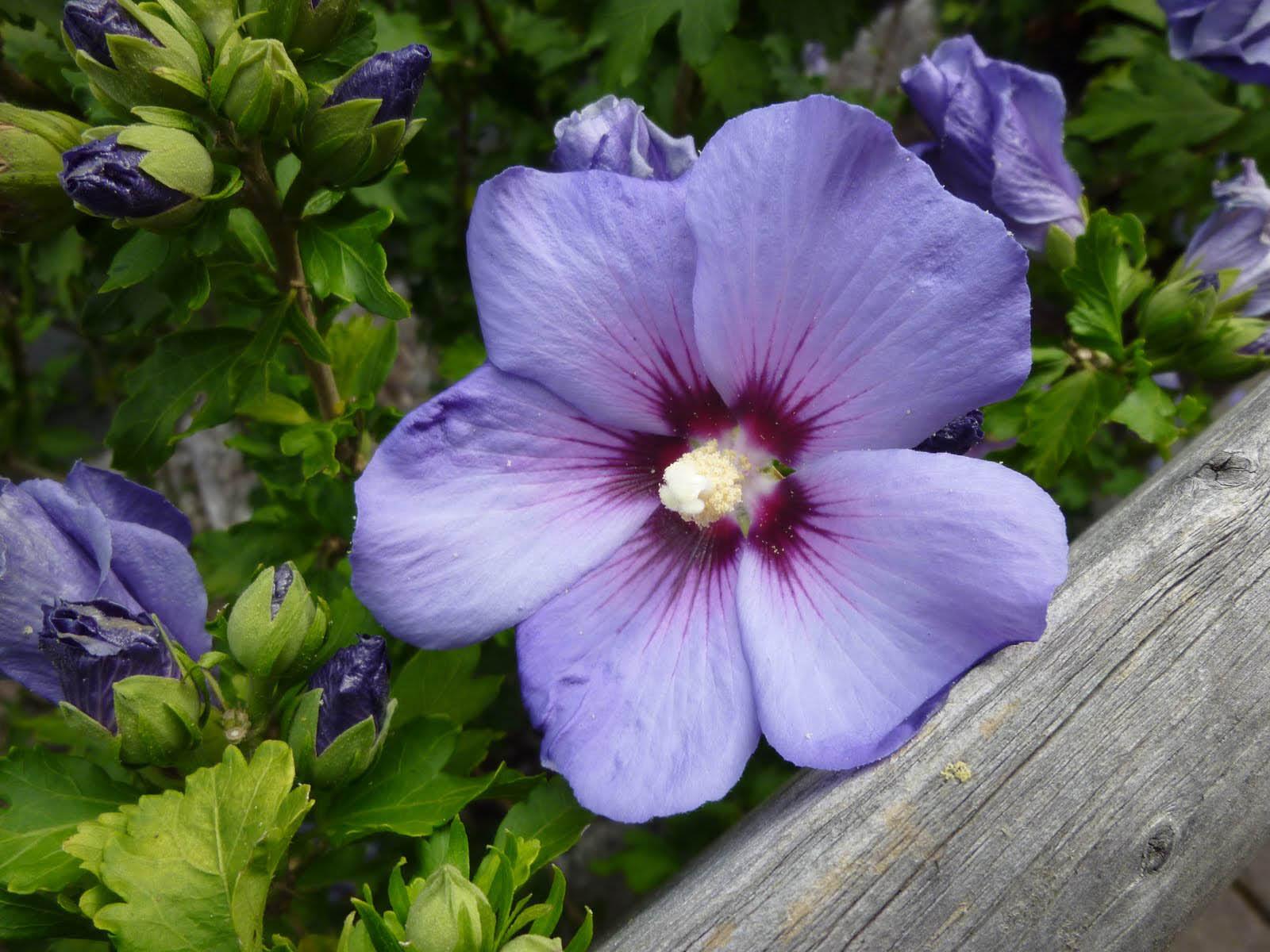 purple hibiscus revision