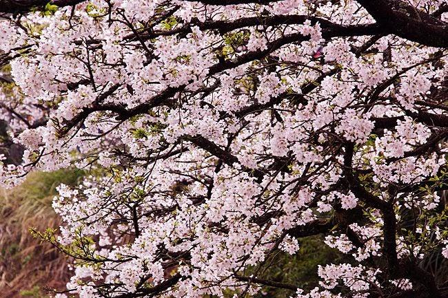 阿里山櫻花季-賞櫻民宿訂房