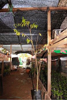 Pokok Gaharu tinggi 3-4 kaki