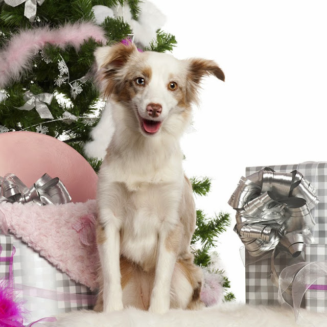 A 1-year old mini aussie under the Christmas tree with presents