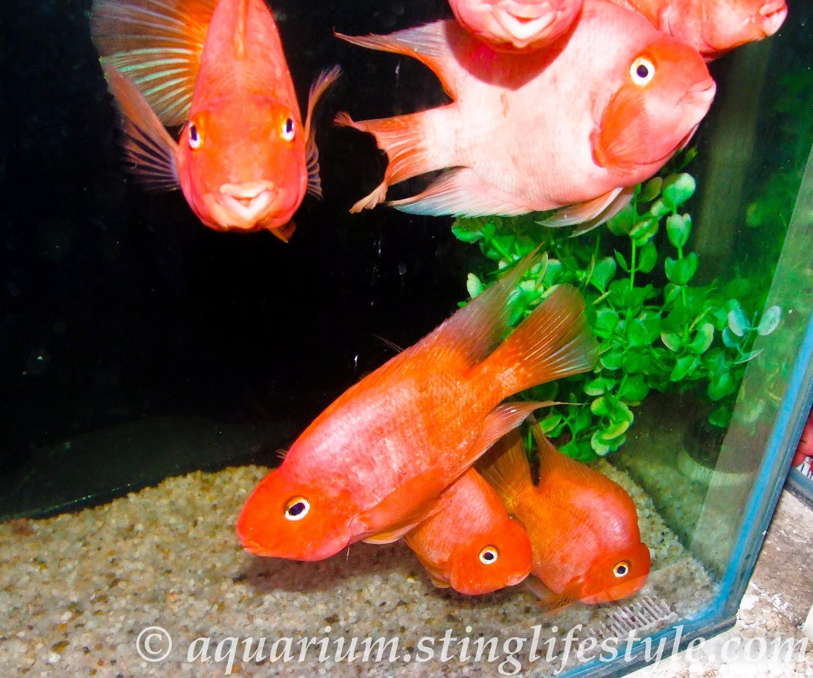 Parrot fish pictures cichlid pictures aquarium info for Pictures of parrot fish