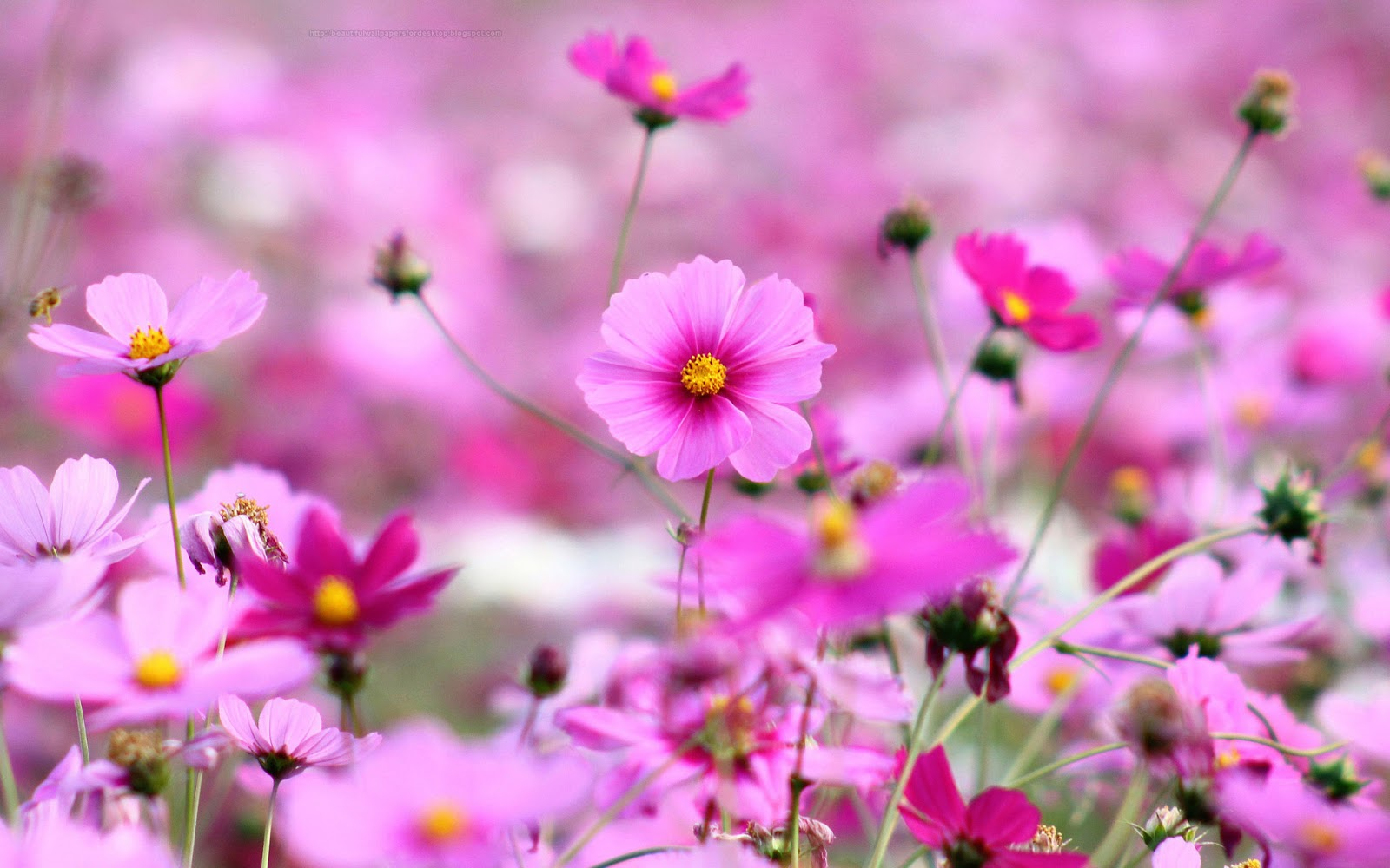 Beautiful Desktop HD Wallpapers 1080p Purple Flowers