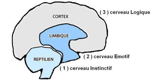 3cerveauxhummains Le cerveau reptilien qui joue...