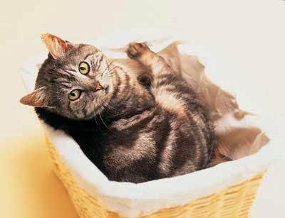 Gatos, extinção a gatos, gatos lindos, gato descansando;