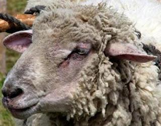 Cabeza de una oveja
