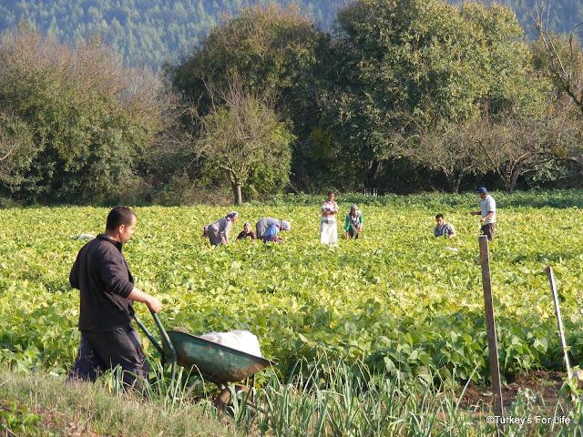 Kayaköy Harvest
