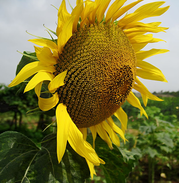 sunflower form the side