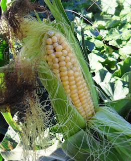 10.08. Начала поспевать кукуруза. Скоро буду запекать и лакомиться.