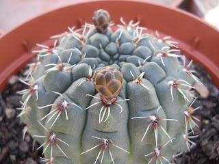 flores del cactus Gymnocalycium baldianum