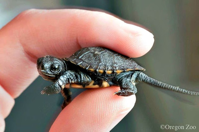 zooborns turtle