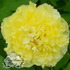 Intersectional Peony 'Yellow Crown'