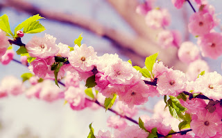 Big Cherry Blossoms and Leaves HD Wallpaper