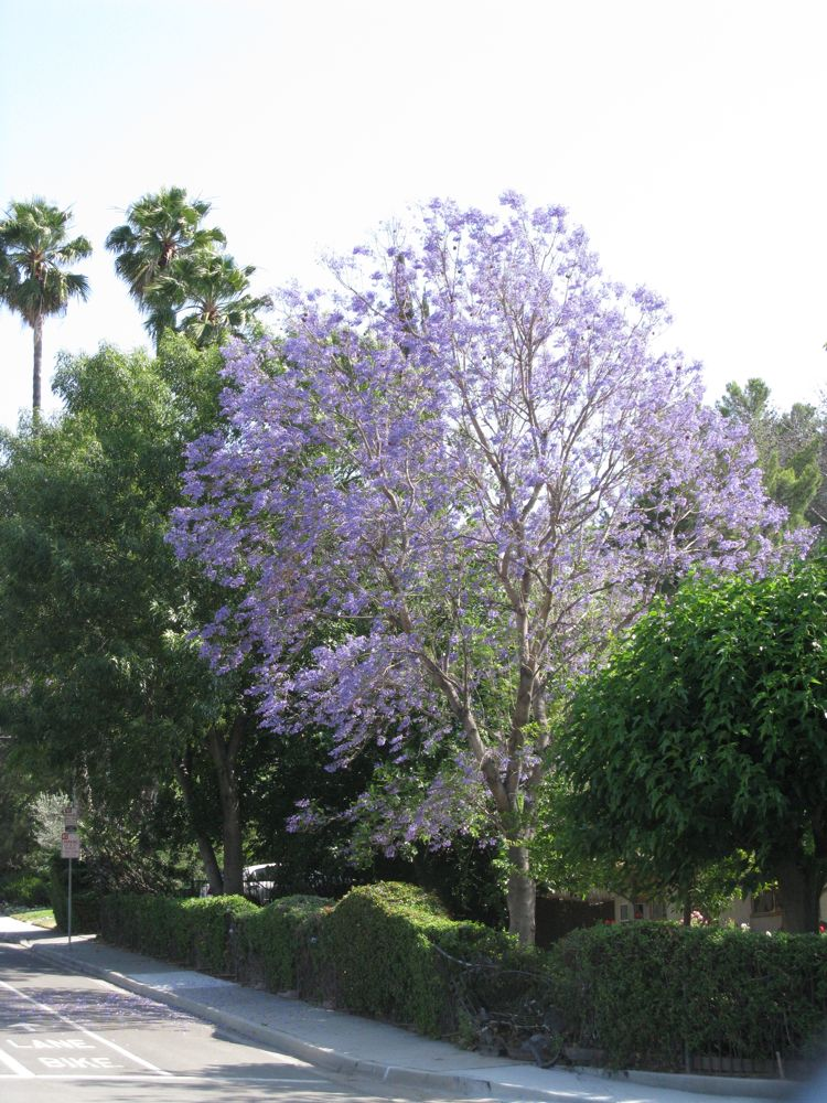 OccasionalPiece Jacaranda Trees
